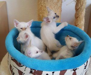 dutch_queens_cattery_gouda_